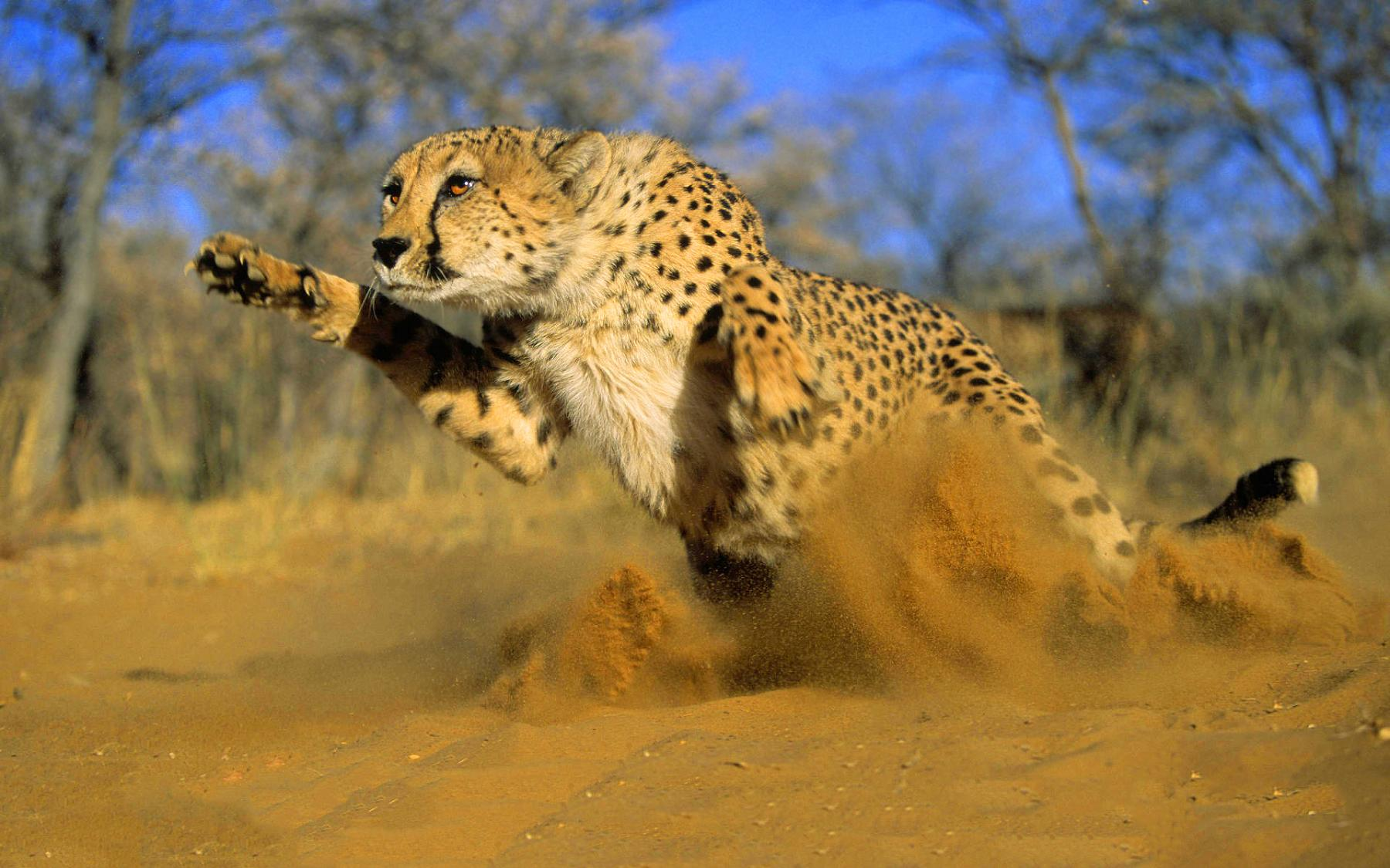 1419001865_cheetah-running-sand.jpg