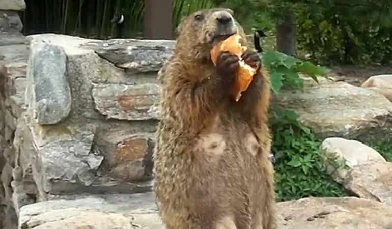 A-Groundhog-Eating-Pizza-2w5dt1whd0vbsxuextoefe.jpg