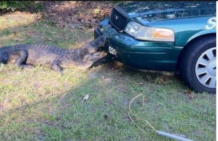 Gator bites Sheriffs car.JPG