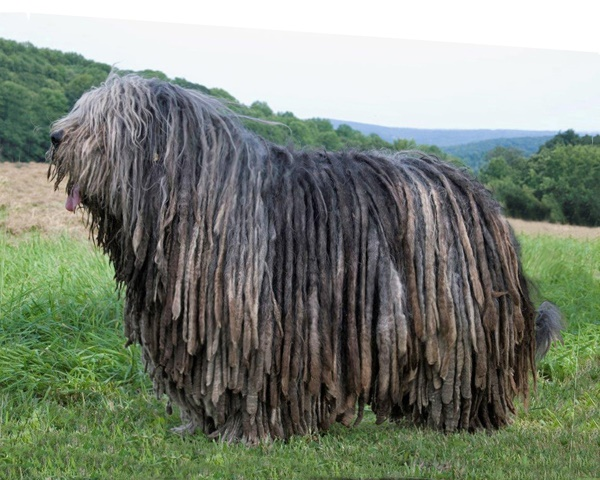 Long-Haired-Dog-Breeds-2.jpg